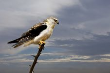 Free Selective Focus Of Bald Eagle Stock Images - 109923844