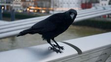 Free Shallow Photography On Black Crow Stock Images - 109923884