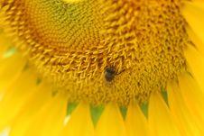 Free Micro Photo Of Honey Bee Of Yellow Sunflower Flower Royalty Free Stock Photos - 109923928