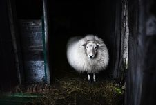 Free Black And White Photo Of Sheep Stock Image - 109923971
