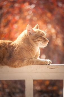 Free Tabby Cat On White Wooden Fence Royalty Free Stock Photography - 109924127