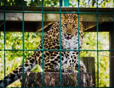 Free Photo Of Leopard Inside The Cage Royalty Free Stock Photo - 109924375