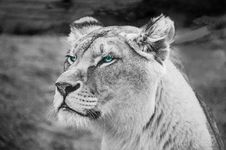 Free Greyscale Photography Of Lioness Stock Images - 109924694