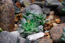 Free Two Green Succulent Plants On Rock Stock Photography - 109924772