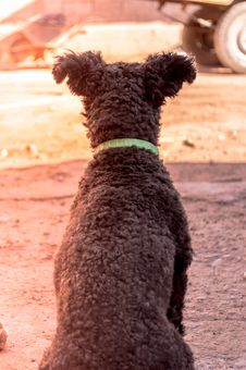 Free Grey Pumi Dog Closeup Photography Royalty Free Stock Images - 109925069