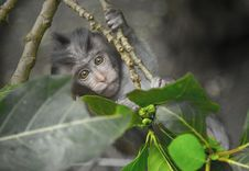 Free Gray Monkey Holding On Gray Tree Branch Royalty Free Stock Photos - 109925218