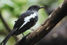 Free White-shouldered Blackbird Royalty Free Stock Photography - 109925317