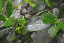 Free Black Primate Seeking Behind Green Leaf Tree Royalty Free Stock Photography - 109925337