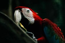 Free Selective Focus Photography Of Scarlet Macaw Royalty Free Stock Photo - 109925715