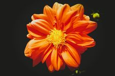 Free Orange Daisy Flower In Close-up Photography Royalty Free Stock Photos - 109926088