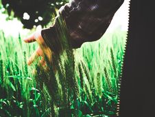 Free Green Wheat Royalty Free Stock Photo - 109926265