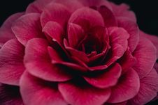 Free Close-Up Photography Of Red Flower Royalty Free Stock Image - 109926266