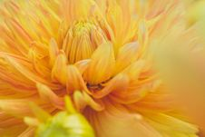 Free Close-Up Photography Of Yellow Dahlia Flower Stock Photo - 109926460