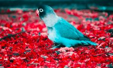 Free Blue And White Parakeet On Red Flooring Stock Photo - 109926900