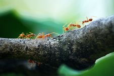 Free Macro Photo Of Five Orange Ants Stock Images - 109927144