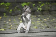 Free Primate Sitting On Wooden Surface Royalty Free Stock Photo - 109927235