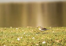 Free Black And White Bird On Green Grass Royalty Free Stock Image - 109927626