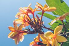 Free Close Up Photo Of Yellow Plumeria Flower Stock Images - 109927664