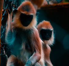 Free Two Black-and-brown Monkeys Photo Stock Photography - 109927672