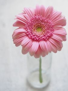 Free Pink Gerbera Flower In Closeup Photography Royalty Free Stock Image - 109927686