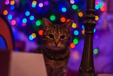 Free Brown Tabby Cat Staring At The Camera Royalty Free Stock Photos - 109927688