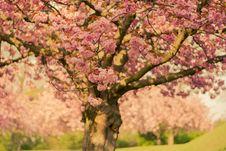 Free Cherry Blossom Tree In Close-up Photo Royalty Free Stock Photos - 109927808