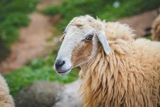 Free Photography Of Sheep Royalty Free Stock Photography - 109928187