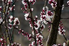 Free Depth Of Field Photography Of Cherry Blossom Tree Royalty Free Stock Photography - 109928527