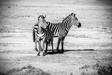 Free Two Zebras Standing Royalty Free Stock Images - 109928669