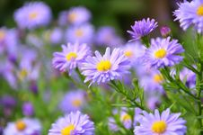 Free Focus Photography Of Purple Daisy Flowers Stock Photos - 109928723