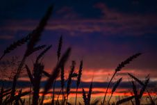 Free Silhouette Of Wheats During Dawn In Landscape Photography Royalty Free Stock Images - 109928979