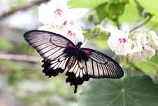 Free Gray And Black Butterfly Sniffing White Flower Stock Photo - 109929130