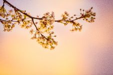 Free White Cherry Blossoms In Closeup Photography Stock Photography - 109929262