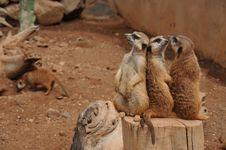 Free Meerkat, Mammal, Fauna, Terrestrial Animal Stock Photos - 109932983