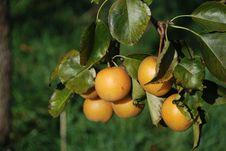 Free Fruit Tree, Fruit, Citrus, Diospyros Stock Image - 109933041