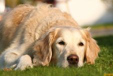 Free Dog, Dog Breed, Golden Retriever, Retriever Royalty Free Stock Photo - 109933145