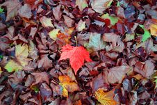 Free Leaf, Autumn, Deciduous, Maple Leaf Stock Photo - 109933250