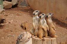 Free Meerkat, Mammal, Fauna, Terrestrial Animal Royalty Free Stock Photography - 109933417