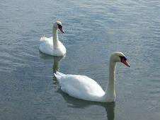 Free Swan, Water Bird, Bird, Ducks Geese And Swans Royalty Free Stock Photo - 109933425