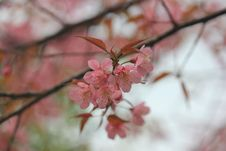 Free Blossom, Pink, Flower, Cherry Blossom Royalty Free Stock Images - 109933479