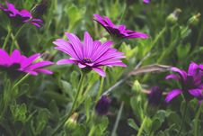 Free Close-Up Photography Of Purple Daisybush Flowers Royalty Free Stock Images - 109973339