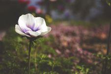 Free Selective Focus Photography Of White And Purple Poppy Flower Stock Photo - 109973340