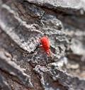 Free Tiny Red Bug Royalty Free Stock Photos - 117548