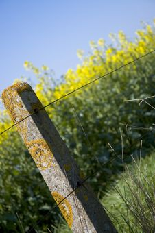 Free Oilseed Rape 5 Royalty Free Stock Images - 110199