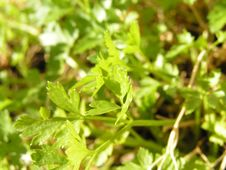Free Young Parsley Stock Photos - 110803