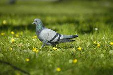 Free Pigeon Stock Image - 112031
