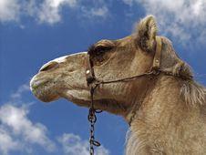 Free Camel Stock Image - 112381
