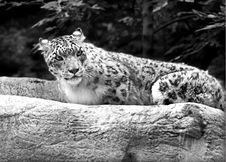 Free Snow Leopard Stock Photo - 112550