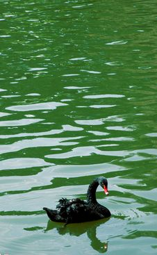 Free Black Swan Stock Images - 112844
