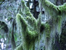Free Moss Covered Branch Stock Photography - 113562